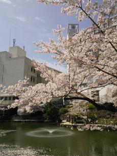 薬大キャンパスの桜
